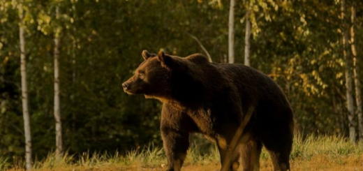 Принца Ліхтенштейну звинувачують у умисному вбивстві найбільшого ведмедя Європи