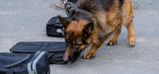 У Вірджинії достроково відправили собак-шукачів на пенсію через легалізацію марихуани