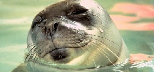 На Гаваях пара під час відпочинку вирішило погладити тюленя та тепер може отримати штраф